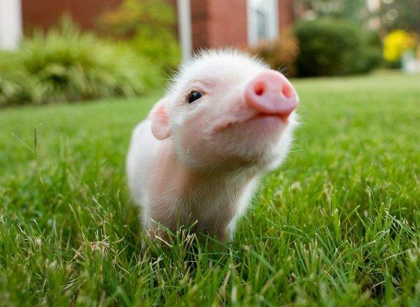 świnka